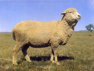 有机察哈尔细毛羊